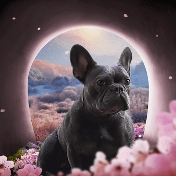 French bulldog88888