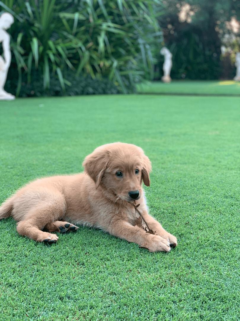 Names for Golden Coloured Pets